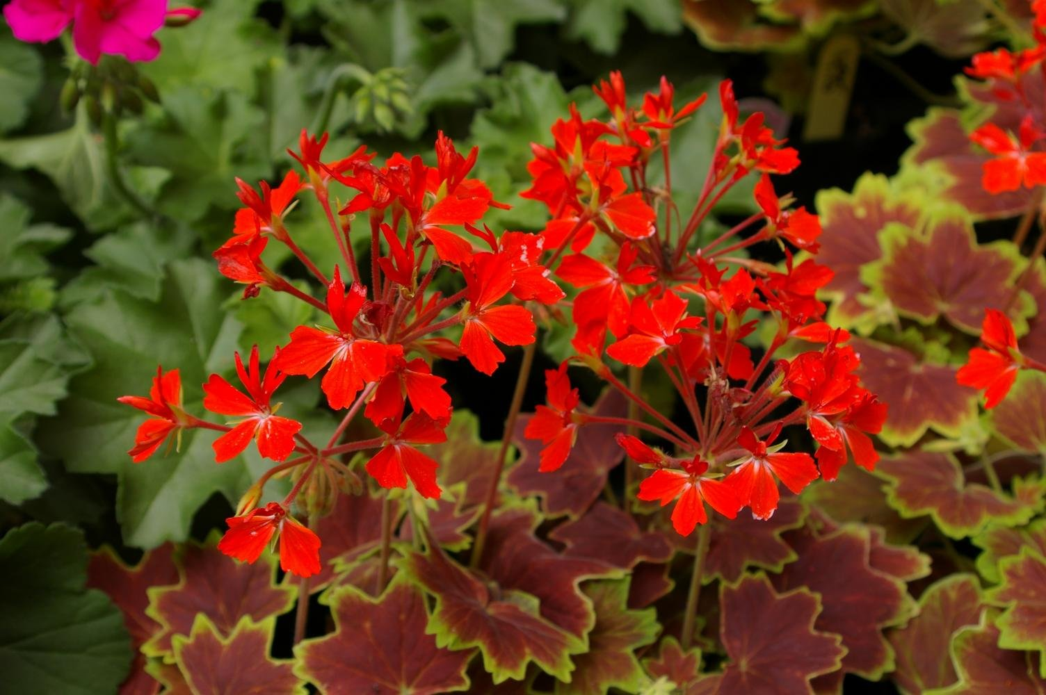 Zonal geranium vancouver centennial 101 plants amp things